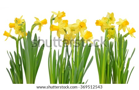 Narcissus flowers isolated on a white background - stock photo