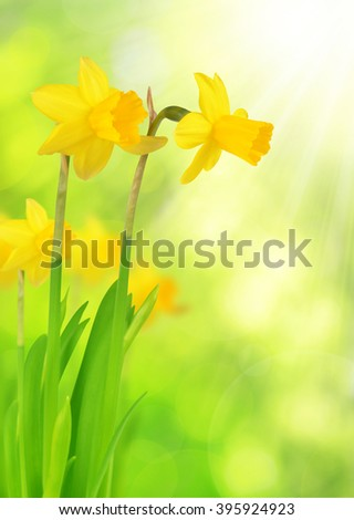 Narcissus flowers on green natural background - stock photo