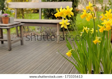 Narcissus flowers overlooking a wooden deck - stock photo