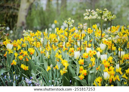 Narcissus in garden, Holland - stock photo