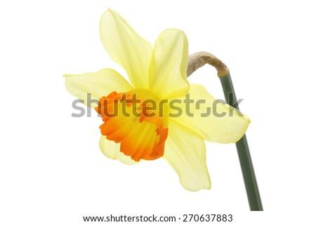Narcissus isolated on white background  - stock photo