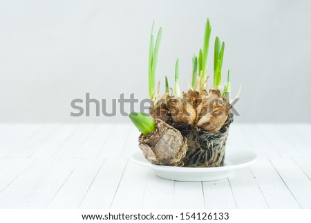 narcissus root balls in humus and tulip bulb on white wood table - stock photo
