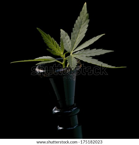 Narcotic. Cannabis is a genus of flowering plants. - stock photo