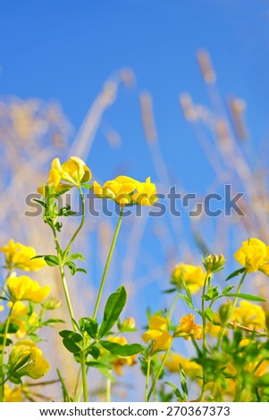 Narrow leaved Bird's foot trefoil, Lotus glaber, single flower with diffused background in a summer Cotswold meadow, Gloucestershire, United Kingdom - stock photo