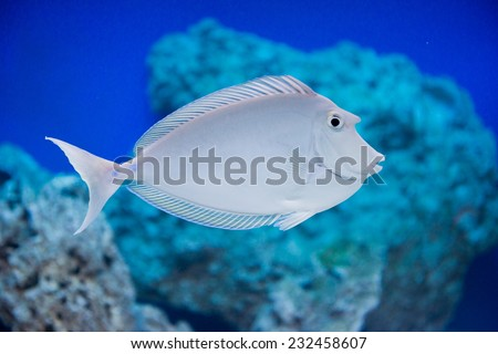 Naso unicornis - bluespine unicornfish - saltwater fish - stock photo