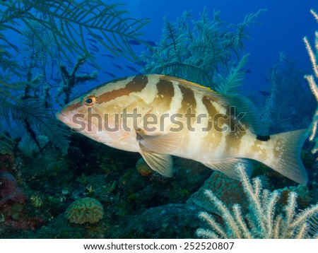 Nassau grouper (Epinephelus striatus) underwater - stock photo