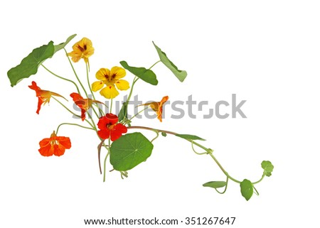 Nasturtium Flower in orange and yellow color isolated on white background - stock photo