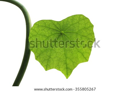 Nasturtium leaves isolated on white background - stock photo