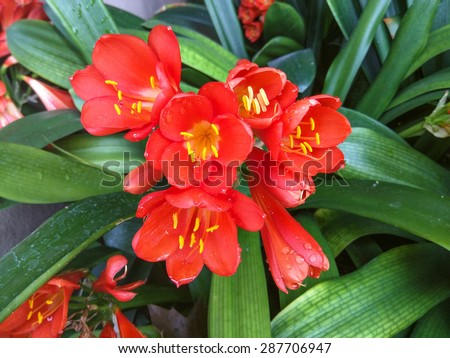 Natal lily (Clivia miniata is a species of flowering plant native to damp woodland habitats in South Africa - stock photo
