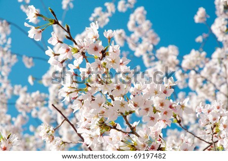 National Cherry Blossom Festival cherry blossom trees in bloom - stock photo