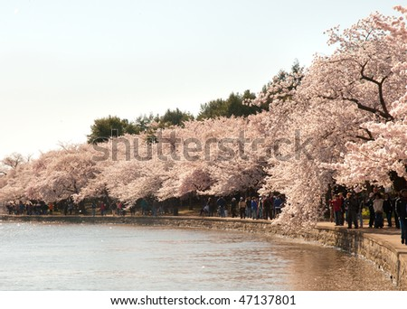 National Cherry Blossom Festival, Japanese Cherry Blossom trees and tidal basin - stock photo