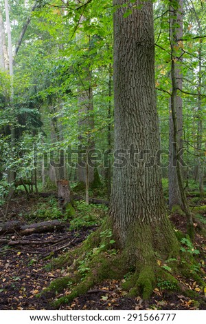 Natural alder-carr stand of Bialowieza Forest in autumnal morning mist - stock photo