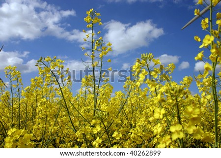 Natural alternative energy rapeseed - stock photo