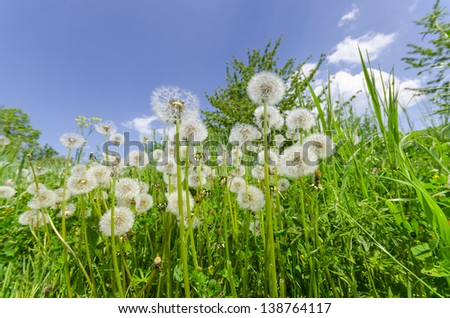 Natural  background. Dandelions in the green grass meadow and blue bright sky - stock photo