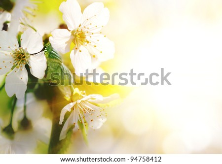 Natural background for design with a blossoming branch of a sweet cherry - stock photo