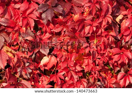 Natural Background Shapes and Textures of Fresh Red Virginia Creeper Leaves in the Autumn, Moscow region, Russia - stock photo