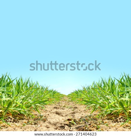 Natural background with young wheat seedlings growing in a soil.  - stock photo