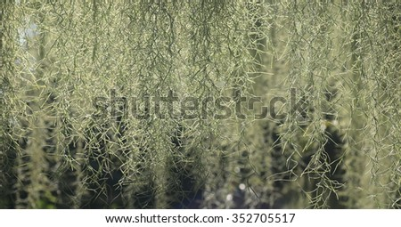Natural 'curtain' formed by Spanish moss, suitable as background - stock photo