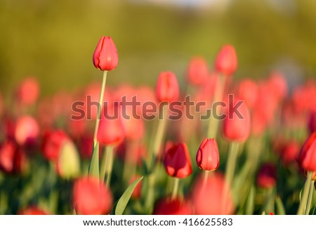 Natural flowers background. Amazing nature view of closeup red blooming tulip landscape under sunlight in sunny garden at the middle of spring. - stock photo