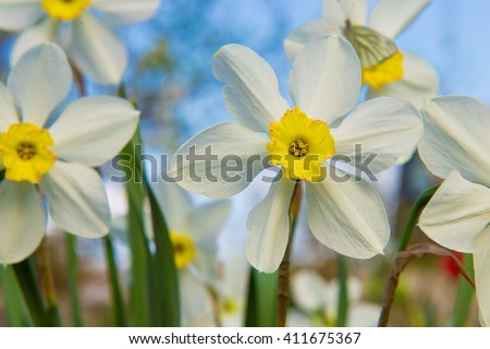 Natural flowers daffodils growing in the garden on the sky background. daffodils in the garden, butterfly on a flower narcissus. The yellow daffodil (Narcissus) also known as the daffodil.  - stock photo