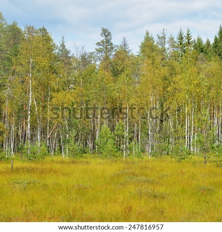 Natural forest bog in Latvia - stock photo