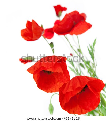 Natural Fresh Poppies isolated on white background / focus on the foreground / floral border - stock photo