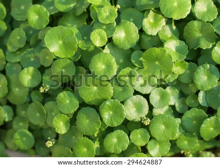 natural fresh Water Pennywort or Centella asiatica leaf, Soft & Dreamy Effect, Low Clarity - stock photo