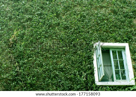 natural green climbing tree, plant wall with white window - stock photo
