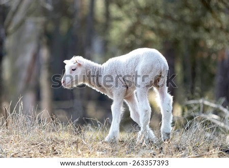 Natural image of a cute lamb only two weeks old walking in the meadow - stock photo