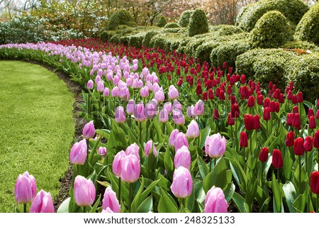 natural park flower  waves of red and pink tulips Keukenhof gardens - stock photo