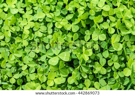 natural pattern of green clover grass - stock photo