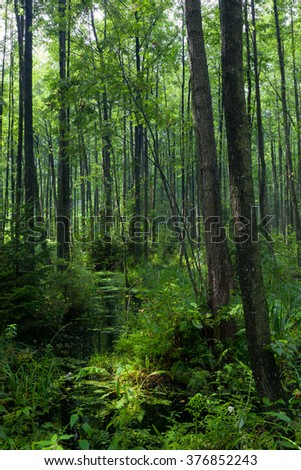 Natural shady alder-carr stand of Bialowieza Forest with standing water in sunrise - stock photo