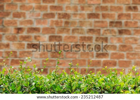 Natural shrub fence on wall background  - stock photo