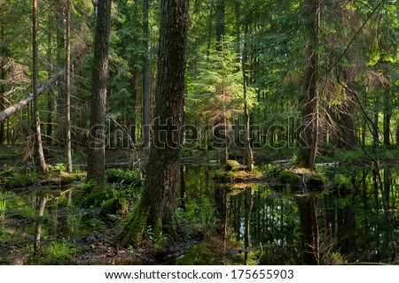 Natural stand of Bialowieza Forest with standing water in morning sunny - stock photo