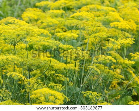 natural summer background - yellow flowers on flowering dill herb in garden - stock photo