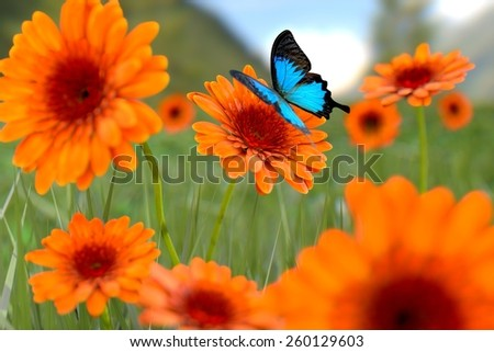 Natural summer gerbera flowers with butterfly  - stock photo