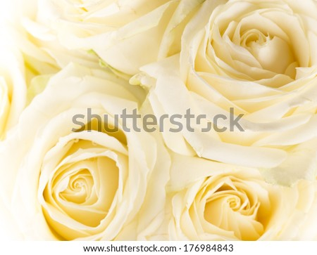 Natural tint yellow roses background, close-up. - stock photo