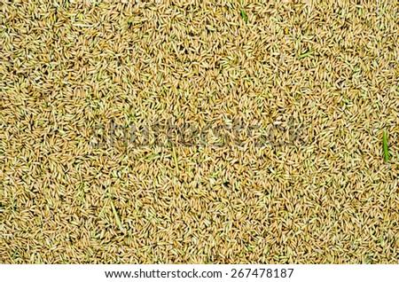 natural yellow  rice grains background, closeup - stock photo