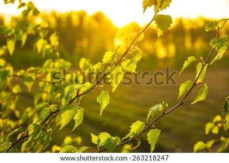 nature background of birch spring young leaves in the sun rays and sunlight against summer field or meadow with sunset forest  - stock photo