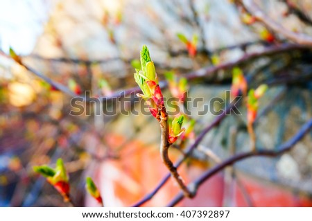 Nature background. Sprouting new leaves on branch in spring. Finland - stock photo