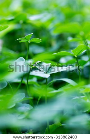 nature background with clover leaves - soft blur effect - stock photo