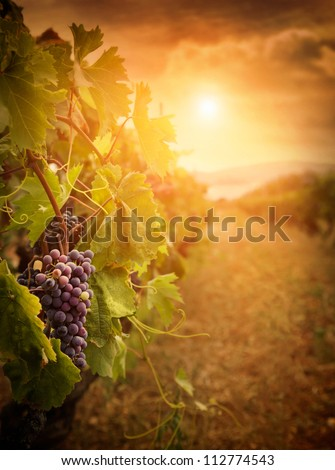 Nature background with Vineyard in autumn harvest. Ripe grapes in fall. Wine concept - stock photo