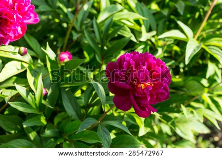 Nature Close Up of Fuschia Colored Flower in Bloom on Lush Green Shrub in Bright Sunlight - stock photo