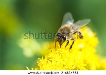 Nature image showing details of insect life: closeup / macro of a bee (colletes, plasterer bee, polyester bee) sitting on the yellow flower. Can be used as a wallpaper, background or postcard.  - stock photo