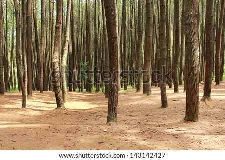 nature landscape of a beautiful Pine forest - stock photo