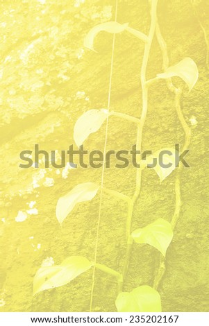 nature life abastract background,vine climber on the rock with yellow light - stock photo