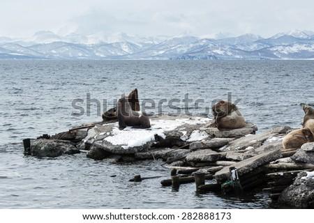 Nature of Kamchatka: rookery Northern Sea Lion or Steller Sea Lion (Eumetopias Jubatus). Avacha Bay, Petropavlovsk-Kamchatsky, Kamchatka Peninsula, Russia. - stock photo