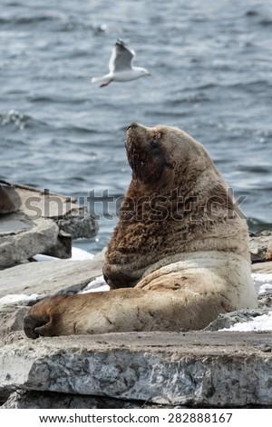 Nature of Kamchatka: rookery Northern Sea Lion or Steller Sea Lion (Eumetopias Jubatus). Russia, Kamchatka Peninsula, Avachinskaya Bay, Petropavlovsk-Kamchatsky. - stock photo