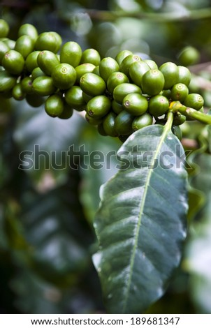 Nature's Garden - Coffee - Green Coffee Beans On The Branch - Unripe Coffee Berries - Immature Coffee Berries / Immature Coffee Berries  - stock photo
