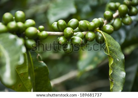 Nature's Garden - Coffee - Green Coffee Beans On The Branch - Unripe Coffee Berries - Immature Coffee Berries / Unripe Coffee Berries - stock photo